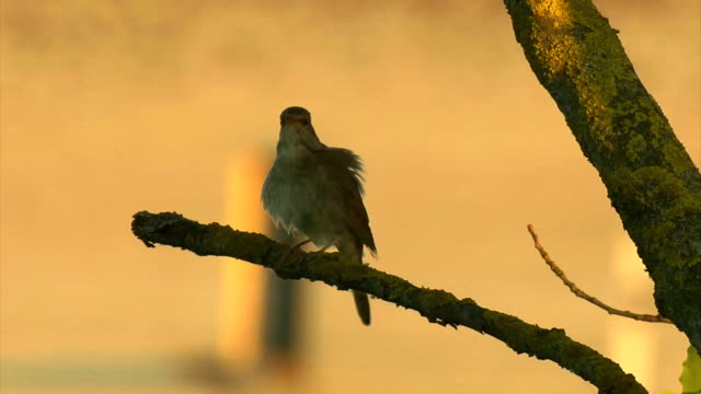 thrush nightingale - nightingale stock videos & royalty-free footage