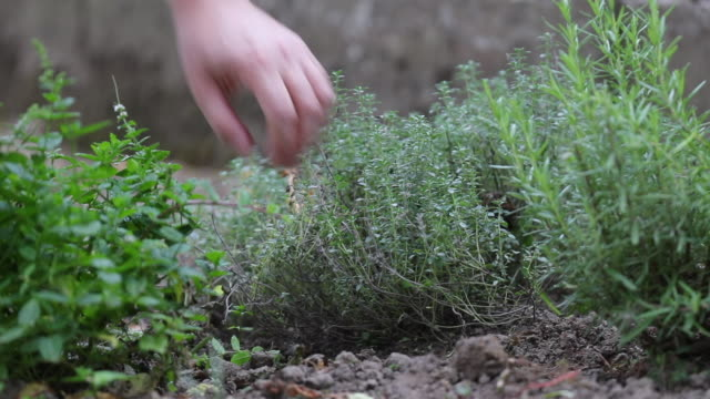 thyme in garden - pruning shears stock videos and b-roll footage