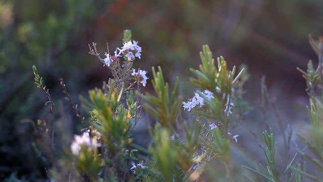 Thyme plant - Thymus vulgaris