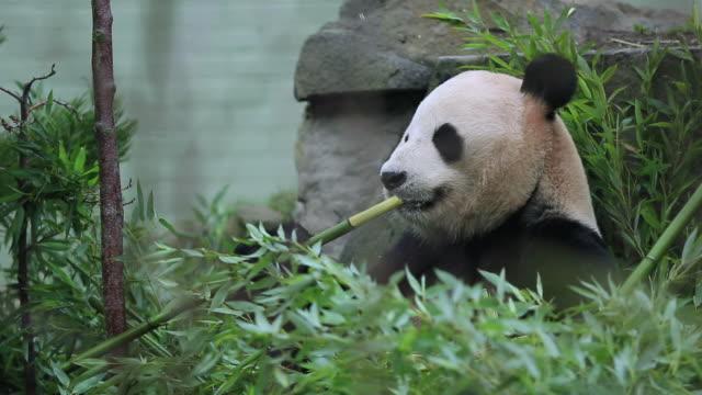 vídeos y material grabado en eventos de stock de ms r/f tian tian eating bamboo in enclosure  / edinburgh, city of edinburgh, united kingdom - panda animal
