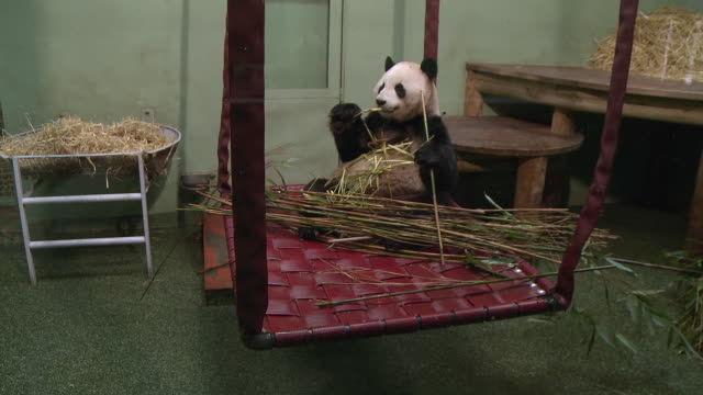 ms tian tian eating bamboo on swing  / edinburgh, city of edinburgh, united kingdom - swing stock videos and b-roll footage