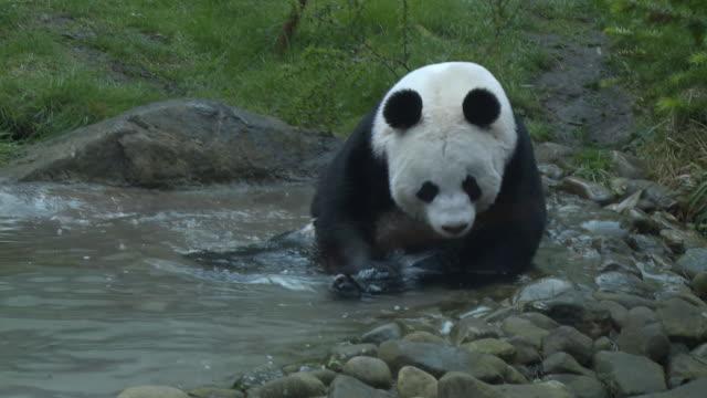 vídeos y material grabado en eventos de stock de ms ts tian tian in pond  / edinburgh, city of edinburgh, united kingdom - panda animal