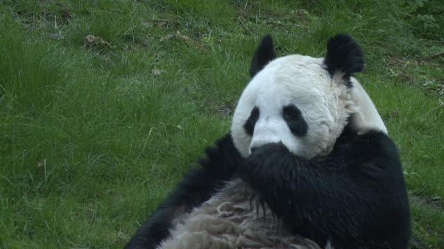 vídeos y material grabado en eventos de stock de ms tian tian in pond  / edinburgh, city of edinburgh, united kingdom - panda animal