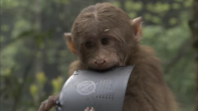 vídeos de stock, filmes e b-roll de tibetan macaque chews on warning sign, mount emei, china - sinal de advertência