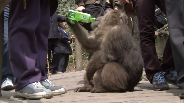 tibetan macaque drinks from plastic bottle, mount emei, china - menschliche gliedmaßen stock-videos und b-roll-filmmaterial