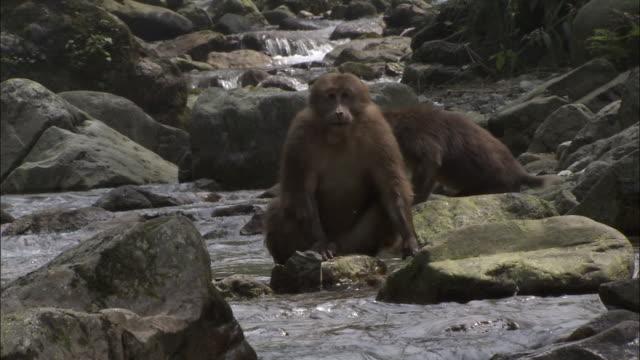 tibetan macaques on rocks in river, mount emei, china - 四川省点の映像素材/bロール