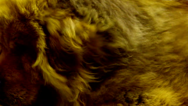 stockvideo's en b-roll-footage met tibetan mastiff dog - dierenhaar