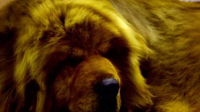 tibetan mastiff dog - large stock videos & royalty-free footage