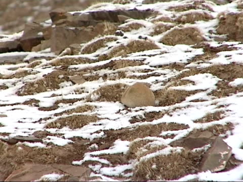 remote highway / wildlife various shots of rodents foraging for food in topsoil on snowy frosty ground / shots of small birds on snowy ground / wide... - foraging stock videos & royalty-free footage