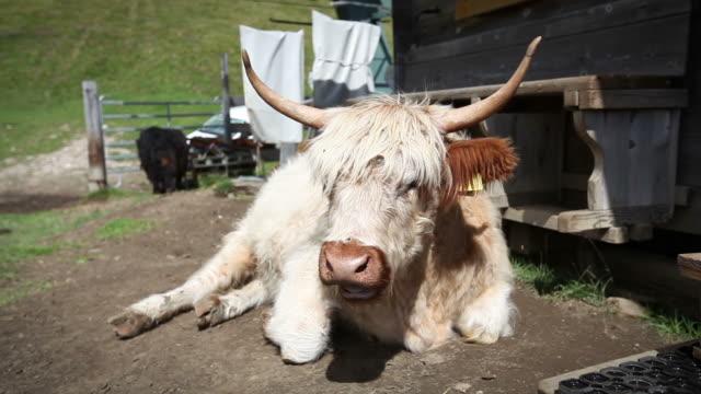 tibetan yak cow on the italian dolomites - yak stock videos & royalty-free footage