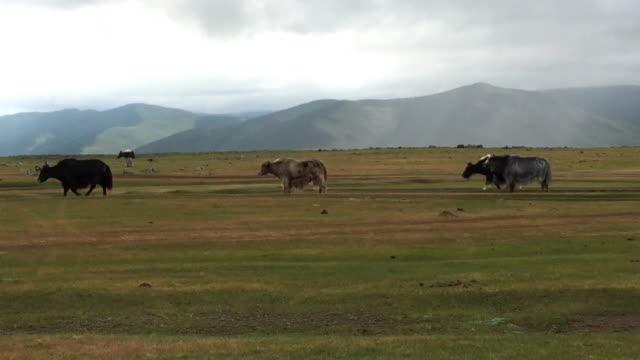 Tibetan Yaks grazing at Orkhon Valley in Mongolia