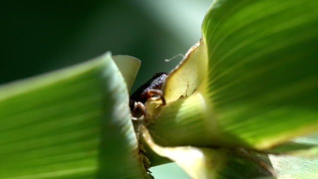 tick on a giant cane leaf - parte del corpo animale video stock e b–roll