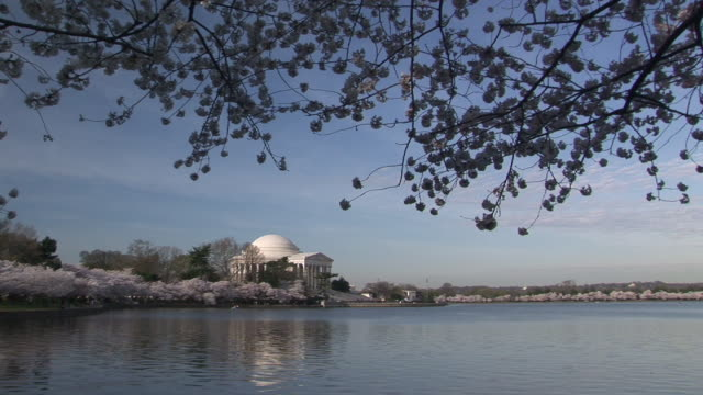 vidéos et rushes de ws, tidal basin and jefferson memorial in distance, cherry blossom in foreground, washington dc, washington, usa - jefferson memorial