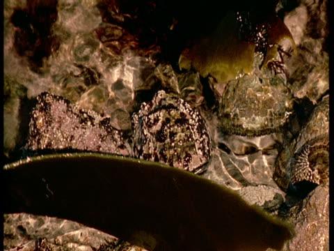 vídeos de stock, filmes e b-roll de a tidal pool swirls around limpets. - gastrópode