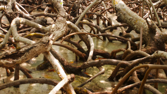 tl tide comes in over mangrove tree roots, belize - tropical tree stock videos & royalty-free footage