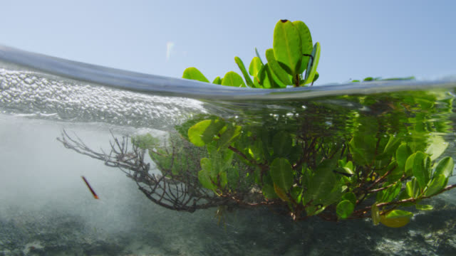 stockvideo's en b-roll-footage met tide rushes in over young mangrove tree, bahamas - bimini