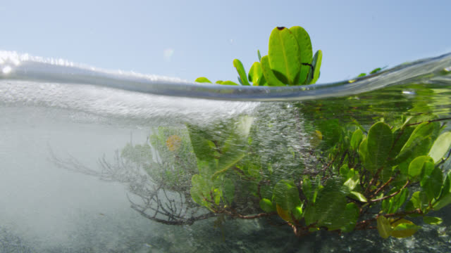 tide rushes in over young mangrove tree, bahamas - bimini stock videos & royalty-free footage