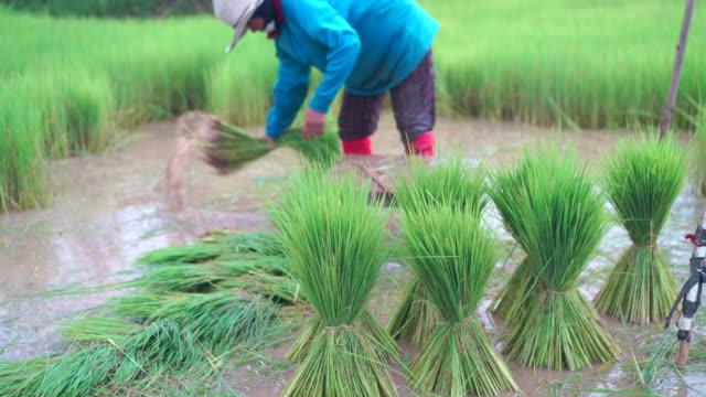 tied rice seedlings - east stock videos & royalty-free footage