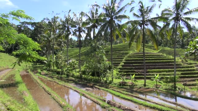 vidéos et rushes de tiered planted and unplanted paddy fields with palm trees on the road from sanda to antosari in western bali. - unesco