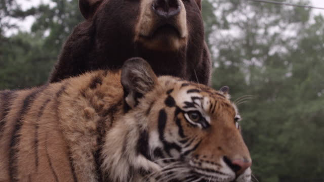 vidéos et rushes de ms tiger and bear / atlanta, united states - animaux en captivité