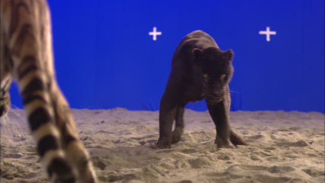 A tiger and black panther circle each other in front of a blue screen.