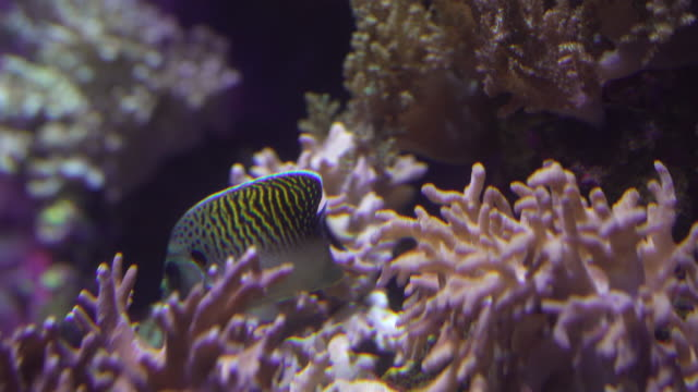 tiger angelfish in coral - angelfish stock videos & royalty-free footage