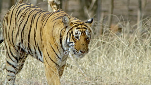 tiger at grass field - panting stock videos & royalty-free footage