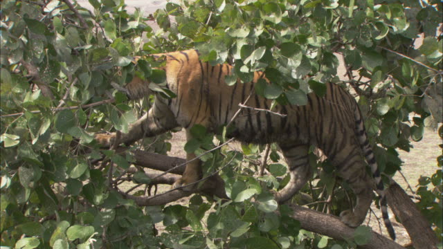 a tiger balances in tree branches. - branch stock videos & royalty-free footage