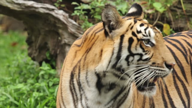 tiger bengal living in the forest - animals in the wild stock videos & royalty-free footage