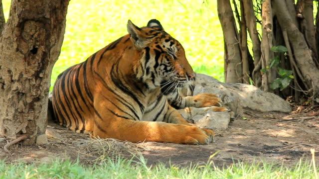 Tiger bengal sitting dodge hot weather under tree