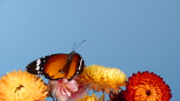 Tiger butterfly on flowers