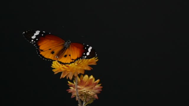 tiger butterfly on yellow flower - black colour stock videos & royalty-free footage