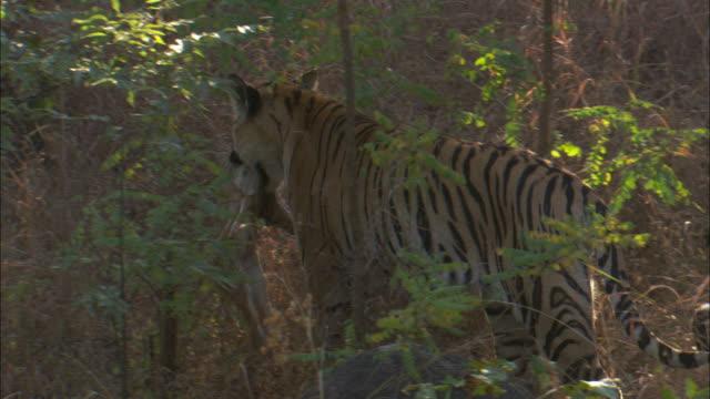 vídeos y material grabado en eventos de stock de a tiger carries a dead axis deer fawn in its jaws. - cervato