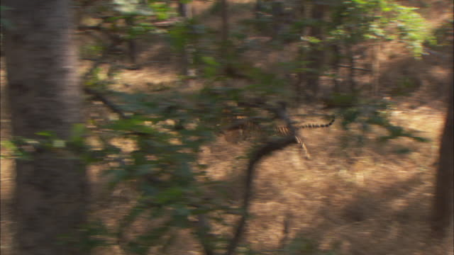 a tiger chases an axis deer before giving up. - pursuit concept stock videos & royalty-free footage