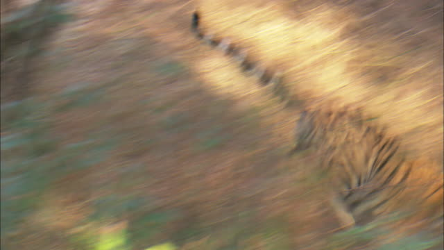 a tiger chases its prey in a forest. - tiger stock videos & royalty-free footage