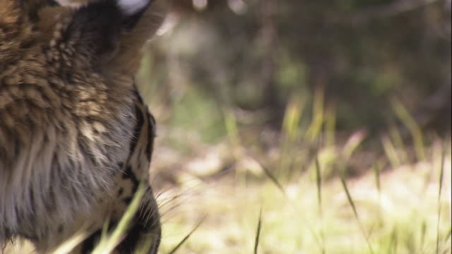 a tiger chews on its kill. - tiger stock videos & royalty-free footage