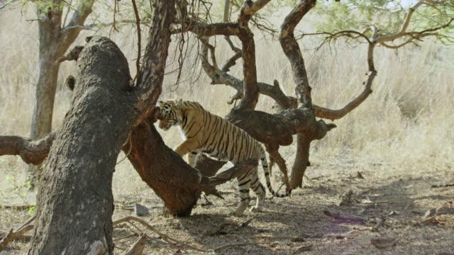 tiger climbing on giant tree trunk - クライミング点の映像素材/bロール
