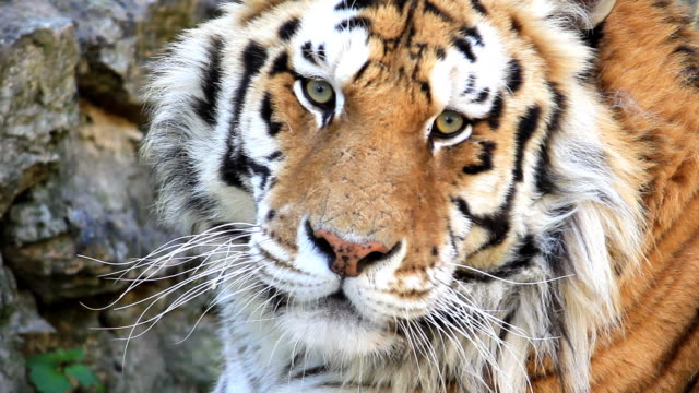hd tiger close up - tiger stock videos and b-roll footage