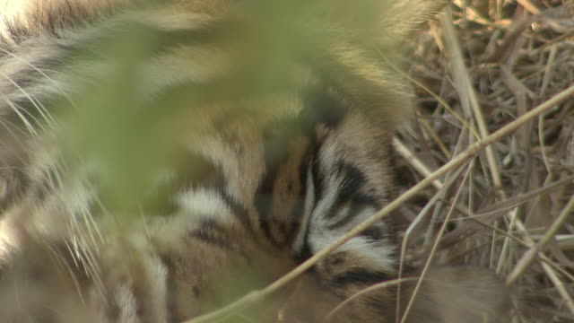tiger closing its eyes - camouflage stock videos & royalty-free footage