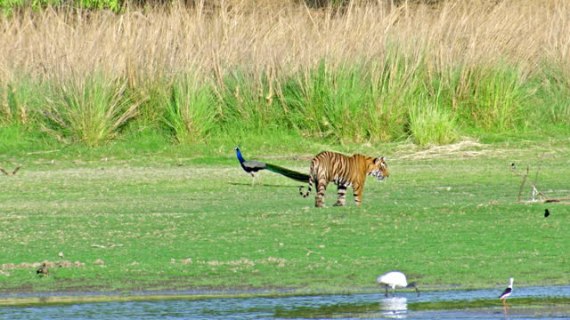 tiger crossing peacock in lake area - aggression stock videos & royalty-free footage