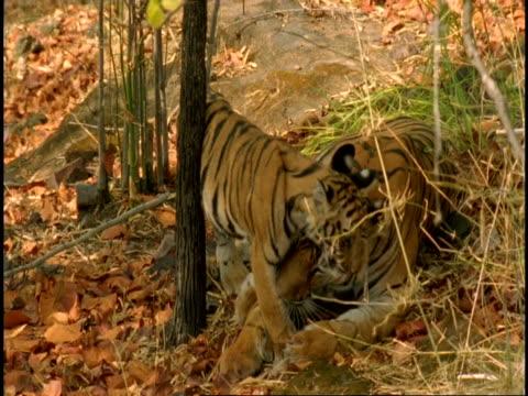vídeos y material grabado en eventos de stock de ms tiger (panthera tigris) cub approaches mother, mother licks cub, bandhavgarh national park, madhya pradesh, india - onda irregular