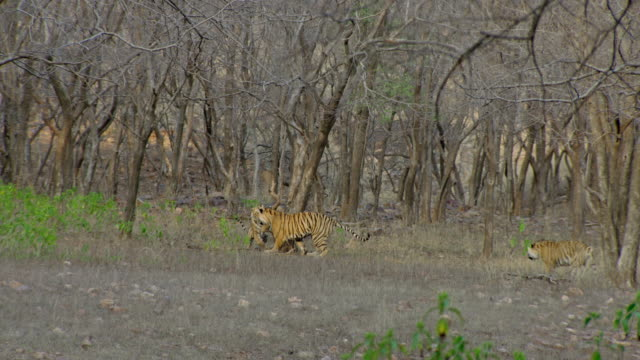 tiger cub catch the mother - trapped stock videos & royalty-free footage