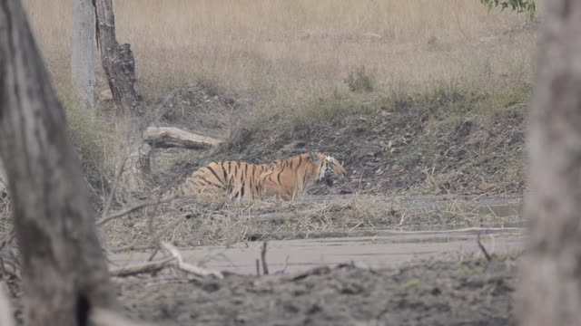 a tiger cub drinking water in a waterhole inside pench tiger reserve during a cold winter morning - bandhavgarh national park stock videos and b-roll footage