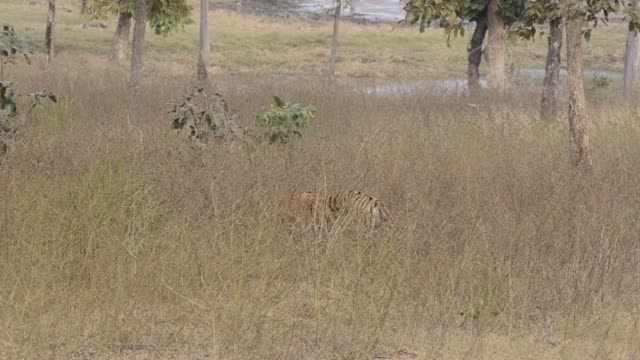 a tiger cub eating a deer kill inside pench tiger reserve during a wildlife safari - tiere bei der jagd stock-videos und b-roll-filmmaterial