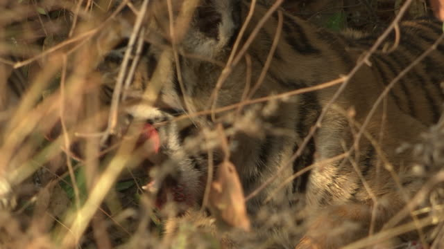 tiger cub eating the kill - disguise stock videos & royalty-free footage