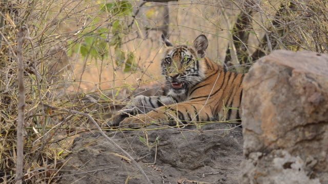 a tiger cub relaxing on a boulder inside bandhavgarh tiger reserve during a wildlife safari - protection stock videos & royalty-free footage