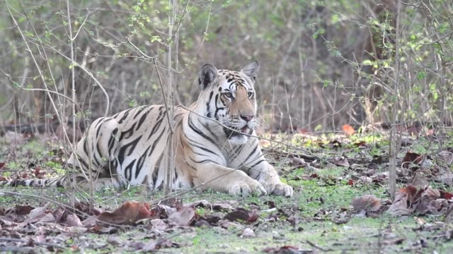a tiger cub sitting inside pench national park waiting for his mother to return on a hot summer day during a wildlife safari - safari india stock videos and b-roll footage