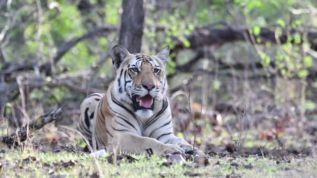 a tiger cub sitting inside pench national park waiting for his mother to return on a hot summer day during a wildlife safari - あくびをする点の映像素材/bロール