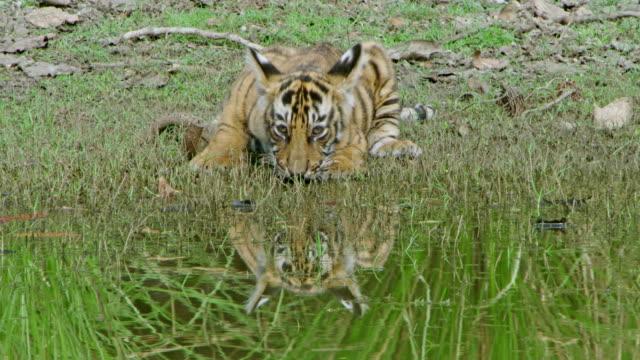 vídeos de stock, filmes e b-roll de tiger cub - fotografia de alta velocidade