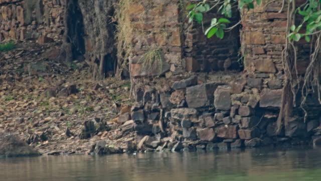 tiger cub - lakeshore stock videos & royalty-free footage